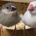 ココミル「文鳥と過ごす日々」