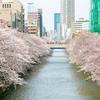 目黒川の桜並木🌸
