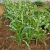 トウモロコシ 追肥と害虫対策