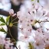 桜の花が咲く頃に・・・