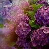 江ノ電 鵠沼の紫陽花