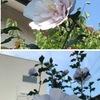 ムクゲ 鎌倉の家々ではムクゲが目立っています.ムクゲは次から次へと花を咲かせます.しかし花は一日で終わり.槿花一日の栄(栄華のはかないことのたとえ.つかのまの盛り).ただし白居易の詩文における「槿花一日」は,全く異なる意味でした:「槿花一日,自ら栄を為す」(むくげの花は一日にして自ずからその生を全うする).これに続けて白居易曰く「何ぞ須ひん世を恋ひ常に死を憂ふるを,亦た身を嫌ひ漫りに生を厭ふこと莫れ」