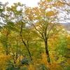 ブナの森で天然ナメコがたくさん採れた!