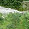 ブルーベリーの摘みとり 防鳥ネット修復 ガクアジサイ