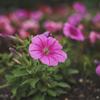 ピンクのペチュニア