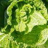 今年の白菜栽培