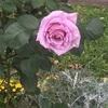 薔薇(°▽°)