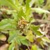今年の春の選択的除草ーチチコグサ系