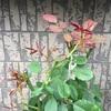 秋バラとファミリア小物