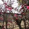 わが家の紅梅が咲いた
