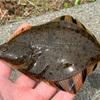 みんなの北海道釣り情報【石狩湾新港 石畳み】これは、、カレイ?ヒラメ?