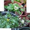 ビオラはさらに二色咲きました / ロウバイ・椿はつぼみ / アジサイは花芽or葉芽? / 近くの神社ではセンリョウの実とツワブキの花