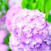 下田公園の紫陽花③