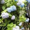 七色のアジサイと青いジャカランタとアーティチョーク、そして立葵に揚羽蝶