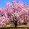 2017年の京都の桜! ここに行きたい!