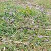 冬でも咲くホトケノザ