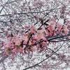 きょうの桜レポート2018【第4回】