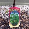 葉サンショウの植え付け