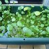 水草の整理