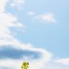 『菜の花と蜜蜂、そして空』を撮って思うこと。