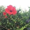鮮花、元は遠くの生まれでも(大島に咲く花ーハイビスカス・アガパンサスー)