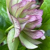 今朝の花、、クリスマスローズを見て思うこと、、自然から学ぶ健康法