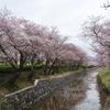 桜・・・・花曇り