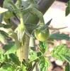 ミニトマト  第1花房に着果