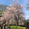 転職、そして上野の桜