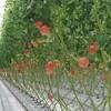 植物工場でも生産、高知トマトサミットを開催。トップリーダーのオランダ自治体とも提携
