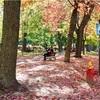 街中の公園・マギル大学・大通り【カナダの紅葉】
