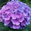 梅雨の些細な楽しみは紫陽花との出会い~自家製梅酒作りに挑戦~