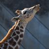 アミメキリン Giraffa camelopardalis reticulata