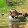 北海道では夏鳥のオシドリ