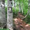 木漏れ日さすブナ林を登る