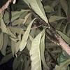 サヨナラ   枇杷の木
