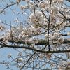 花は盛りに~藤枝市の花見どころ散策