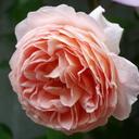 だから バラ薔薇 とにかく クレマチス