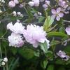 八重の梅 紅白咲き揃い 謎の裏庭を探検してみた