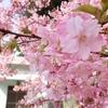 大分県津久見市の『河津桜』を見に行ってきました!