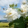 南足柄市千津島の酔芙蓉が見頃&彼岸花が咲き始めました