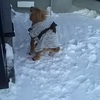 70代シニアのインスタグラム248日~雪でお腹が痛くなったワン!