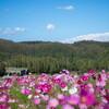 【9月のおすすめ】滝野すずらん公園の50万本のコスモスは圧巻(札幌)
