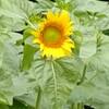 ヒマワリの開花
