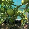 初めてトマトが採れました!