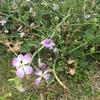 希少、問から得る学びあり(大島の浜辺に咲く花 ―ハマダイコン・ミヤコグサー)