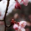 寒桜が咲いていたよ