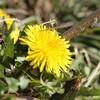 春を告げるタンポポ