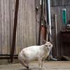 史跡石見銀山の猫は白銀のような美しさ