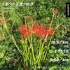 9月22日火曜日 彼岸花を見ながら久しぶりに長い距離を走る